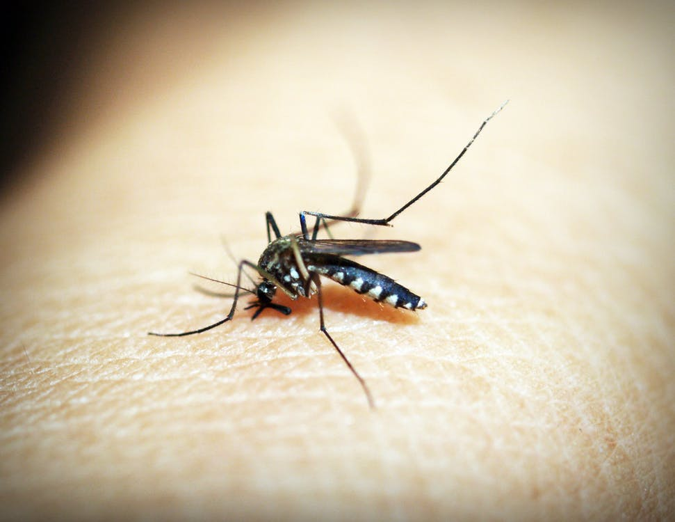 A mosquito sits on a human