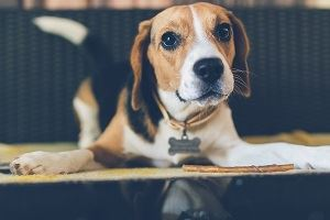 beagle dog wearing dog license